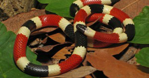 Poisonous Coral Snake