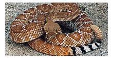 Poisonous Rattlesnake